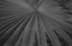 Hoja de palmera (jescandell) Tags: leica hoja film rollei kodak trix bn summicron ibiza epson f2 v600 50 palmera r8 kodaktmax kodaktrix400 analogico photoflo tetenal ilfostop film:iso=400 fijador film:brand=kodak jescandell film:name=kodaktrix400 developer:brand=kodak developer:name=kodaktmax lavaquick filmdev:recipe=9686