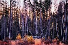 fort mac (Maryann Clark) Tags: trees canada forest landscape alberta birch fortmcmurray flickrandroidapp:filter=none