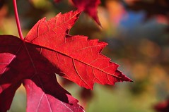 a spectacle (christiaan_25) Tags: blue autumn light shadow red orange color green fall nature colors leaves yellow season leaf maple bokeh explore edge change vein 381 lobe oct102014