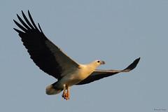 White bellied Sea Eagle (Kennix Lam) Tags: bird canon eos pssaro hong kong 7d  fugl vogel oiseaux pjaro  uccello  fgel  adar  ptk