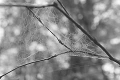(idasalminen) Tags: autumn light white mist black fall nature beautiful fog forest blackwhite branch gray cobweb
