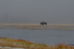 Bison in the Fog (SaunTek) Tags: nature buffalo wildlife american yellowstone bison