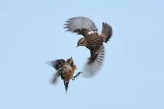 Squabbling Stonechats. (stonefaction) Tags: nature birds scotland fife wildlife ness stonechat explored