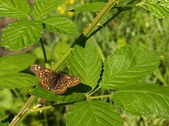 Euphydryas maturna (Pip Sunmas) Tags: nymphalidae nymphalinae 7266 scarcefritillary védett euphydryasmaturna p6131428 díszestarkalepke