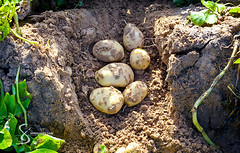 """Planting potatoes 