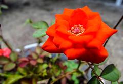 La flor (rvm2616) Tags: flowers flores garden flora jardin jardines