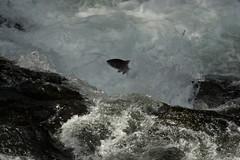 SalmonLeapF19AUG14 (Mike Chellini) Tags: usa fish alaska river salmon cooperlanding