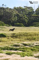 Vida salvaje (Picardo2009) Tags: chile wild horse naturaleza nature animal landscape caballo countryside paisaje campo silvestre rapanui isladepascua campaña salvaje nikonflickrawardgold flickrtravelaward
