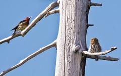 Two Birds in a Tree (nickinthegarden) Tags: canada bc westvancouver redbreastedsapsucker northernpygmyowl cypressmountainpark