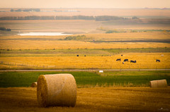 We Just Be Grazin', Baby (howardpa58) Tags: autumn yellow landscape countryside cow cattle straw olympus hay bales omdem5 paulhowardphotography