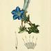 Gentiana acaulis. Morris, R., Flora conspicua, t. 2 (1826) [W. Clark]