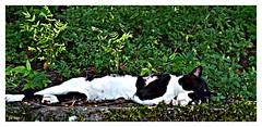 Gatto Un Leone Pigmeo (STEVE BEST ONE) Tags: italy cats cat nikon italia gatto gatti umbria orvieto 2011 d3100