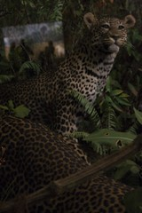 Reflections of a Leopard (A. Zada) Tags: life stilllife ny newyork reflection window nature animal animals silhouette museum fauna dead real death feline wildlife artificial exhibit taxidermy leopard bigcat alive preserved amnh museumofnaturalhistory exhibits bigcats deadoralive americanmuseumofnaturalhistory zada pantherapardus deadandalive azada arielrahimzada