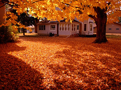 "Golden Yellow Maple Tree over leaf-coated ground 2 • <a style=""font-size:0.8em;"" href=""http://www.flickr.com/photos/34843984@N07/15422079611/"" target=""_blank"">View on Flickr</a>"