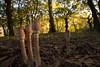 IMG_3888 (NachoIglesiasCasal) Tags: autumn mushroom coruña teo galicia otoño iglesias cogumelo seta nacho outono burga a puentevea nekov01 nachoiglesias nachoiglesiascasalgmailcom