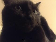Martha Cat (brownpau) Tags: cat martha ipadmini companionkittens