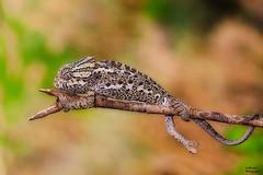 chameleon (aziouezmazouz) Tags: nature animals lizards chameleons iguania chamaeleoninae brookesiinae