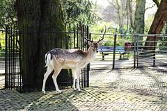 Hert (Iederedagkoningsdag) Tags: spring dordrecht lente hert gewei merwesteinpark