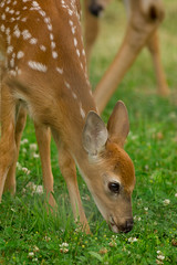 Deer (al0589) Tags: canada nature canon quebec montreal wildlife deer wilderness 400mm t2i 40056 ilestbernard canont2i