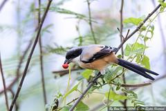 Long-tailed Shrike or Rufous-backed Shrike (Lanius schach)_DSC2232-1 (BoonHong Chan) Tags: or shrike laniusschach longtailedshrike rufousbackedshrike