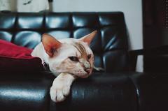 (Mr. ) Tags: cat gr bengal ricoh