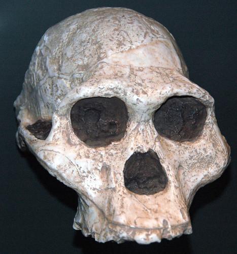 Australopithecus africanus fossil hominid (Upper Pliocene, 2.01 to 2.05 Ma; Sterkfontein, Gauteng Provi