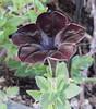 Black Flower (maytag97) Tags: flower blackflower pretty unique garden petal tuesdaystextures maytag97