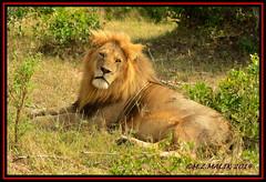 KING OF THE JUNGLE (Panthera leo)....MASAI MARA......SEPT,2014 (M Z Malik) Tags: africa nikon leo kenya wildlife ngc safari kws masaimara 70200mmf28 flickrbigcats exoticafricancats d800e exoticafricanwildlife