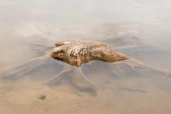 supervivencia bajo el agua (Piedad Aover) Tags: naturaleza arbol agua raices