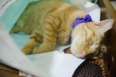 Semicat02 (sueuxi) Tags: cat photography taiwan taichung