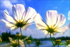 PETALES ET COULEURS (Gilles Poyet photographies) Tags: fleurs allier soe vichy auvergne autofocus plandeau aplusphoto artofimages rememberthatmomentlevel1 rememberthatmomentlevel2 rememberthatmomentlevel3