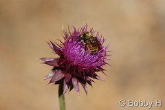 October 5, 2014 - A bee does some late season work. (Bobby H)