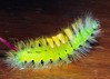 Pale Tussock (Calliteara pudibunda) caterpillar (gillybooze) Tags: moth caterpillar ©allrightsreserved