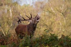 red deer (maaddin) Tags: heat reddeer cervuselaphus rothirsch brunft naturwildparkgranat