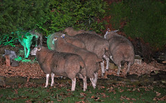 Quick Boys, they'll never find us in here (littlestschnauzer) Tags: uk england west animals rural garden dark evening countryside october funny escape village sheep farm yorkshire flock 7 seven nightime hiding rockery escaped 2014 emley escapees thorncliffe