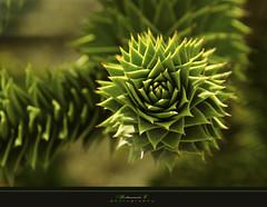Green (aniribe) Tags: plant green nature closeup nikon