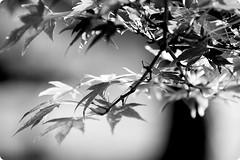 Leaf of the maple (karakutaia) Tags: sun tree love nature japan paper temple japanese tokyo heart superb card e simply sogno rockpaper afotando flickraward flickrglobal elementsorganizer allbeautifulshotsandmanymoreilovenature flowerstampblackandwhite transeguzkilorestreetarturbanagreatshotthisisexcellentcontestmovementricohgxrserendipitygroupbluenatureicapture flickraward5jtra realtabstract