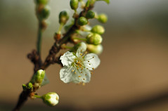coming into bloom (Johnson Cameraface) Tags: 2017 february winter olympus omde1 em1 micro43 meyeroptikgorlitzoreston 50mm m42 f18 manualfocus johnsoncameraface blossom early tree cherryplum