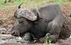 African Buffalo (Syncerus caffer) (berniedup) Tags: lowersabie kruger africanbuffalo synceruscaffer buffalo taxonomy:binomial=synceruscaffer