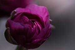 Unfolding (Captured Heart) Tags: ranunculus flower unfolding opening softlight pinkflower singleflower