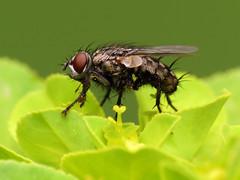 Flesh Fly (treegrow) Tags: spain lifeonearth nature raynoxdcr250 arthropoda canonpowershotsx40hs insect diptera fly sarcophagidae