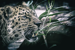 Beauty of Nature (KyKy Fotografie) Tags: panther amour panter animal predator hunter wildlife zoo nature eyes photo photography pics picture