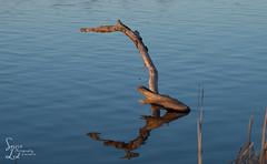 Overreaching (1 of 1) (amndcook) Tags: driftwood michigan outdoors shoreline sunset amandacook fishingline montague nature photograph reflection spiritledphotography whitelake wildlife