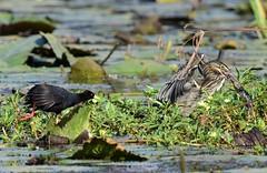 Blake Crake & Striated Heron (Ian N. White) Tags: blackcrake striatedheron gaborone greenbackedheron botswana amaurornis flavirostra amaurornisflavirostra butoridesstriata