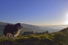 Kingdom. (Mike & Indy) Tags: laddie dog dogs bordercollie llanfairfechan northwales mountains sunset snowdonia menai straits anglesey pet