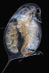 Daphnia (mr.sansibar) Tags: crustacea cladocera olympusbh2 focusstacking zooplankton daphnia photomicrography microscopy polarizedlight waterflea heliconfocus