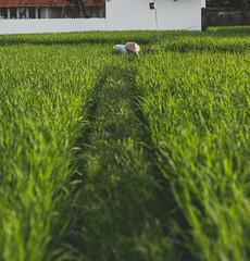 Ricefields in bali #bali #ricefields #travel #canggu #indonesia #canon #canon5dmkiv (matsandersen) Tags: bali ricefields travel canggu indonesia canon canon5dmkiv