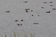 Img_6675 (steven.heywood) Tags: garganey teal gadwall duck leightonmoss