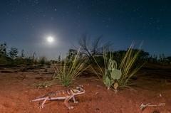 Smooth Knob-tailed Gecko under the full moon (R. Francis) Tags: smoothknobtailedgecko nephruruslevis roxbydowns olympicdam ryanfrancis ryanfrancisphotography southaustralia sa