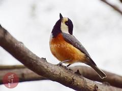 (finalistJPN) Tags: birder wildbird springscene discoverychannel nationalgeographic tripjapan visitjapan cherryblossom nationalpark japanesebird japanguide japanphoto lonelyplanet planetearth bbc